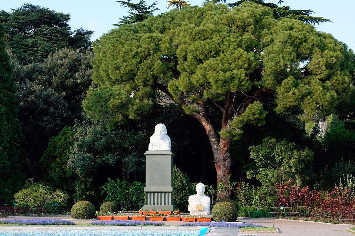 Пиния (сосна итальянская, Pinus pinea) — путеводитель по отдыху в Крыму